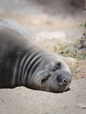 Lazy, plump, Sea Lion Pup, Baja, Mexico. Lazy, plump, Sea Lion Pup, of Baja, Mexico, looks directly at camera while laying on the sand Stock Photo