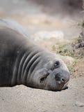 Lazy, Plump, Sea Lion Pup, Baja, Mexico Stock Photo