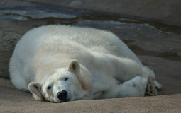 Lazy polar bear royalty free stock photos