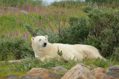 Lazy Polar Bear 1 royalty free stock photo