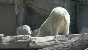 Lazy polar bear stock footage