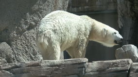 Lazy polar bear stock video footage