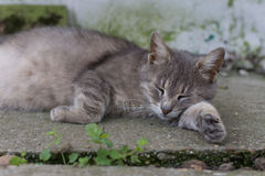 Lazy pregnant grey cat laying in the yard.  royalty free stock images