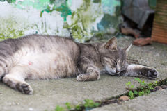 Lazy pregnant grey cat laying in the yard.  Royalty Free Stock Photo