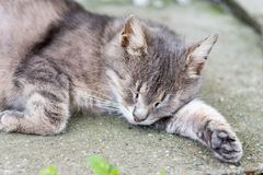 Lazy pregnant grey cat laying in the yard.  royalty free stock photography