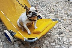 Lazy pug dog on a pram. A small happy lazy dog being pushed on a pram Royalty Free Stock Photo