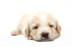 Lazy  puppy Stock Photography