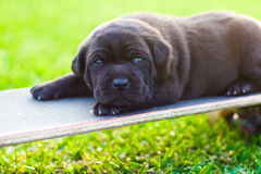 Lazy puppy Royalty Free Stock Image