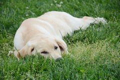 Lazy Puppy Royalty Free Stock Photography