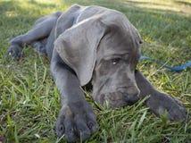 Lazy puppy Stock Photos