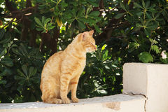 Lazy, red cat. Sitting on a grey stone on the background of green plants Stock Image