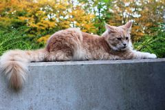 A lazy red cat on a wall. A lazy red cat lying on a wall. In the background an autumn trees and bushes Royalty Free Stock Images
