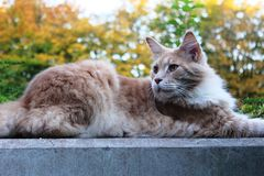 A lazy red cat on a wall. A lazy red cat lying on a wall. In the background an autumn trees and bushes Stock Photography