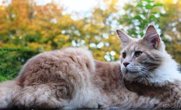 A lazy red cat on a wall. A lazy red cat lying on a wall. In the background an autumn trees and bushes Stock Photo