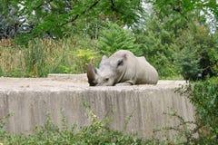 Lazy Rhino in the Zoo. Lazy rhino (white rhinoceros) lying on the ground in the zoo. Photo taken in Sofia zoo Royalty Free Stock Photos