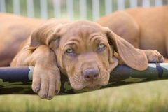 Lazy Rhodesian Ridgeback puppy Stock Photo