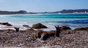 Kangaroos at Lucky Bay Esperance Royalty Free Stock Photos