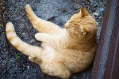Lazy rufous cat sitting like man. And looking arround in depression Stock Photography
