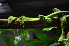 Lazy salamander checking you out royalty free stock photo