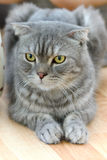 Lazy scottish fold cat Royalty Free Stock Photography