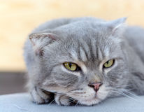 Lazy scottish fold cat Stock Image
