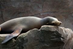 Lazy Sea Lion 1 Stock Image