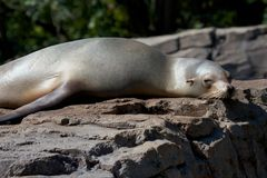 Lazy Sea Lion. Cute sea lion relaxing on a rock in the warm spring sun Stock Image