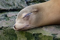 Lazy Sea Lion 1 Stock Photo