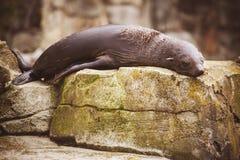Lazy sea lion sleeping on a rock Royalty Free Stock Photo