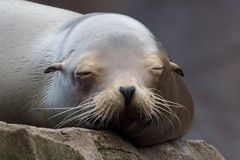 Lazy Sea Lion 2. Lazy sea lion sleeping on a rock, frontal shot Royalty Free Stock Photos