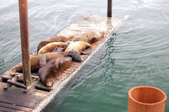 Lazy Sea lions. A bunch of lazy sea lions laying on a dock Stock Photography