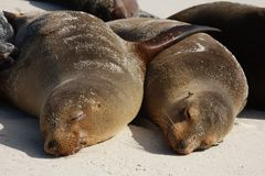 Lazy Sea Lions Royalty Free Stock Image