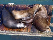 Lazy Sea-lions. Three sea-lions enjoy a lazy day royalty free stock photo