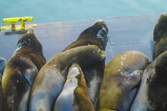 Lazy Sea Lions Royalty Free Stock Photos