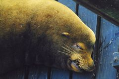 Lazy Sea Lions Stock Photography