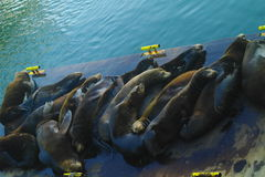 Lazy Sea Lions Stock Photos