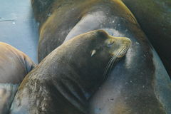 Lazy Sea Lions Royalty Free Stock Images