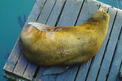 Lazy Sea Lions Stock Images