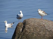 Lazy Seagulls on the top of the rock royalty free stock images