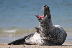 Lazy seal Stock Image