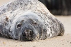 Lazy Seal. Common seal being lazy from Helgoland Germany stock photography