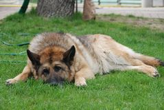 Lazy sheep-dog Royalty Free Stock Image