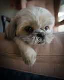 Lazy Shih Tzu Puppy Lying on Chair Stock Photo
