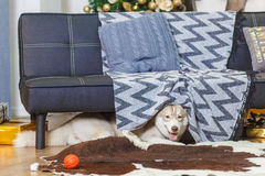 Lazy Siberian Husky in living room, smiling, fluffy Royalty Free Stock Images