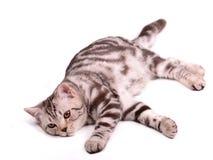 Lazy skottish fold kitten lying isolated Stock Image