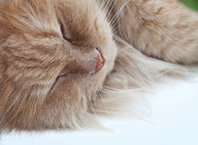 Lazy sleeping persian cat Stock Images