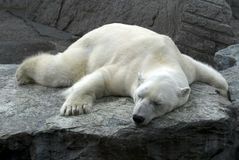 Lazy sleeping polar bear Stock Images