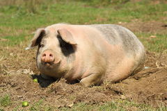 Lazy sow laying down Stock Image