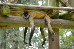 Lazy spider monkey. Spider monkey laying across a beam in his enclosure exhibiting laziness Royalty Free Stock Photos