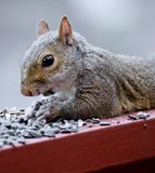 Lazy Squirrel Stock Image